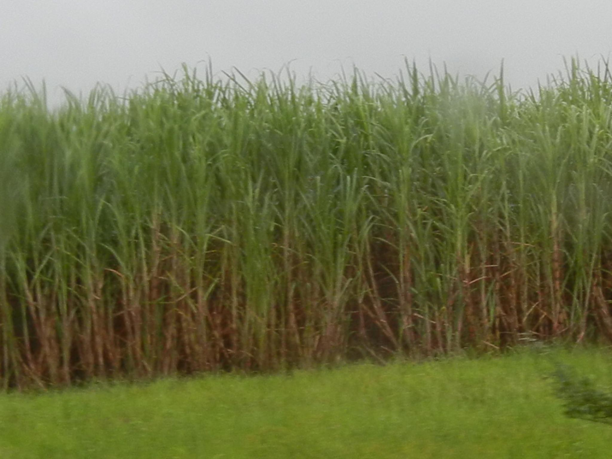 Sugarcane Wallpapers 2048x1536