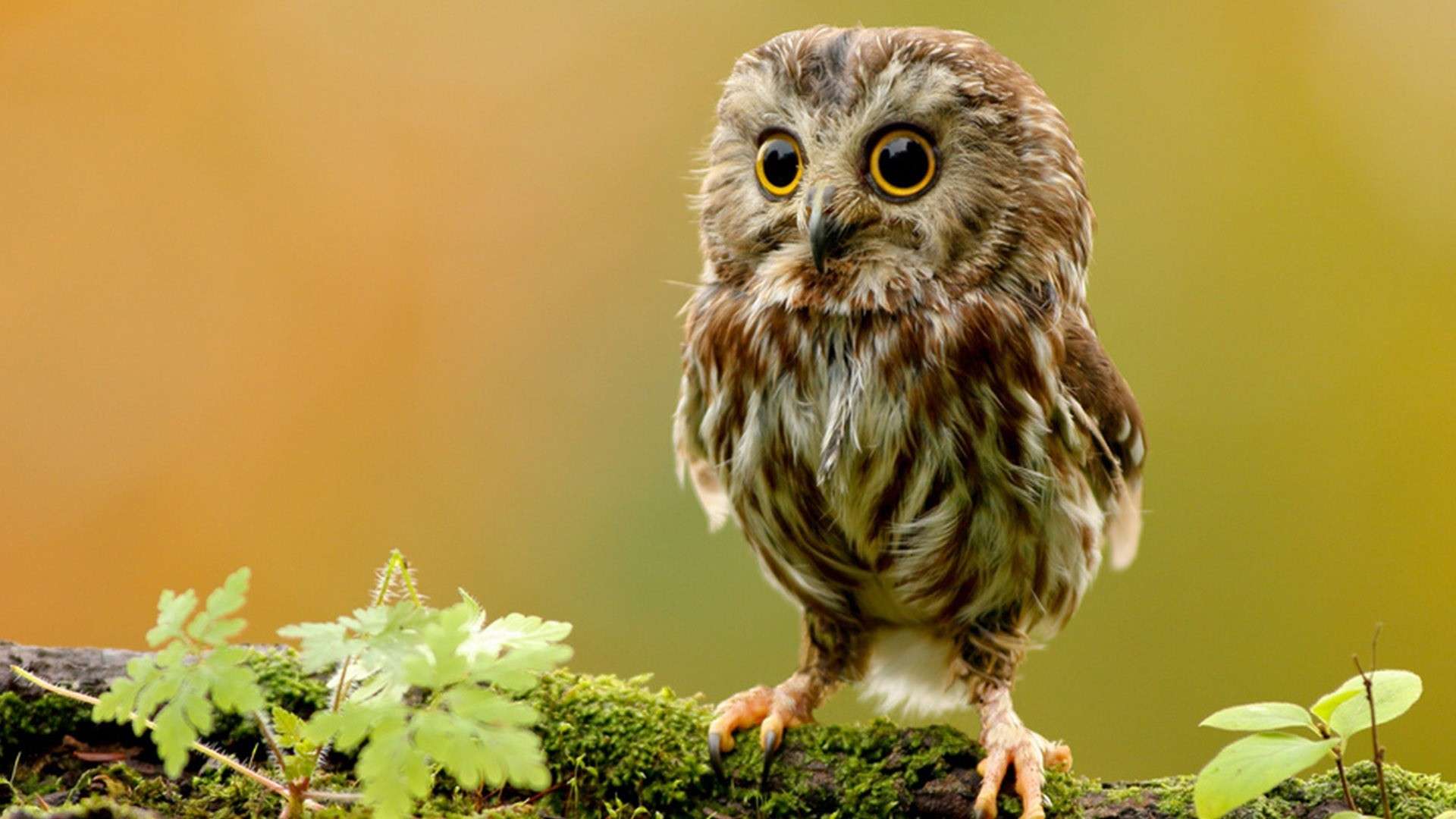 Https Wallpapersafari Com Cute Owl Background