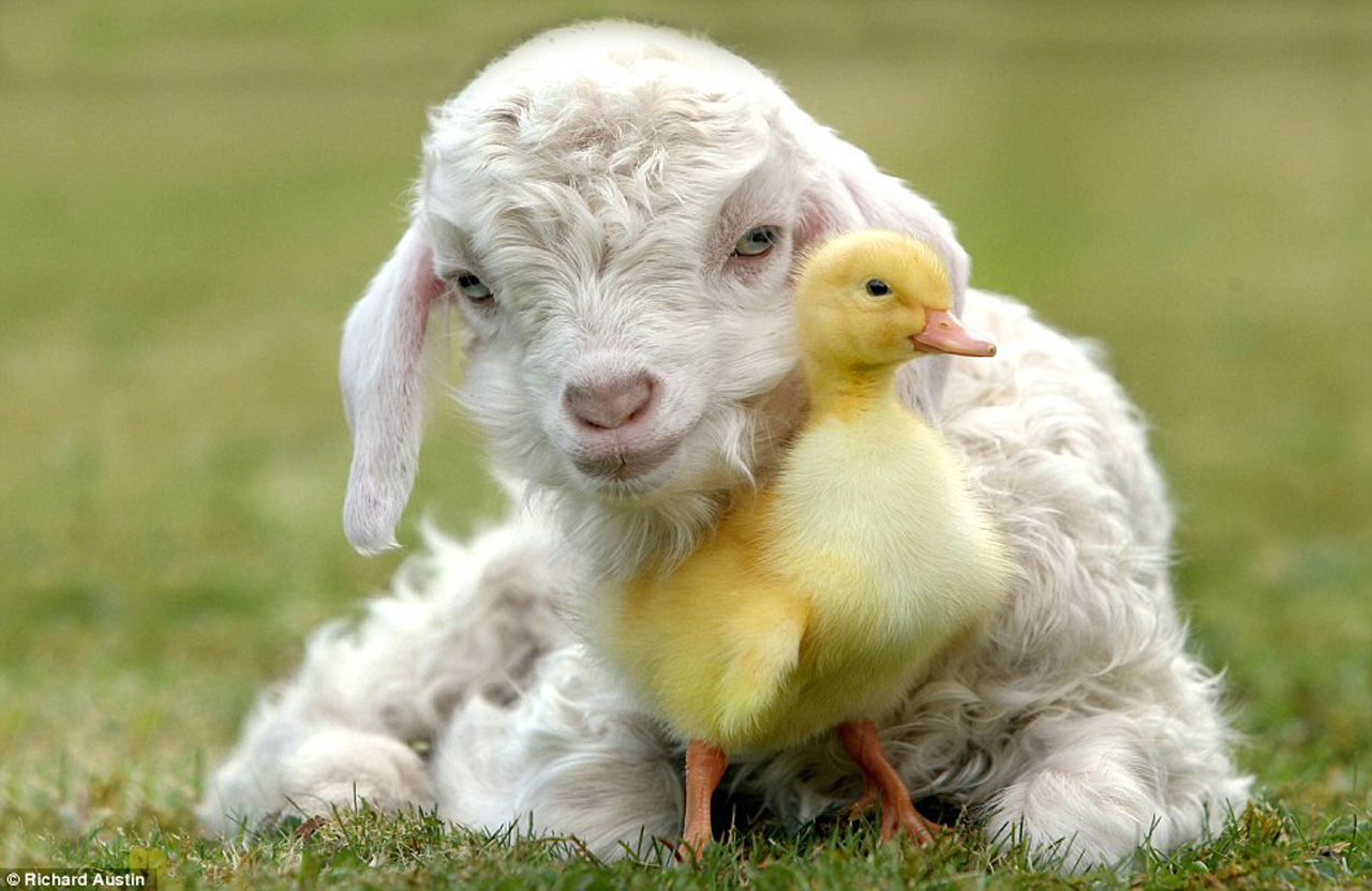 spring chick and lamb wallpaper   ForWallpapercom 1280x832