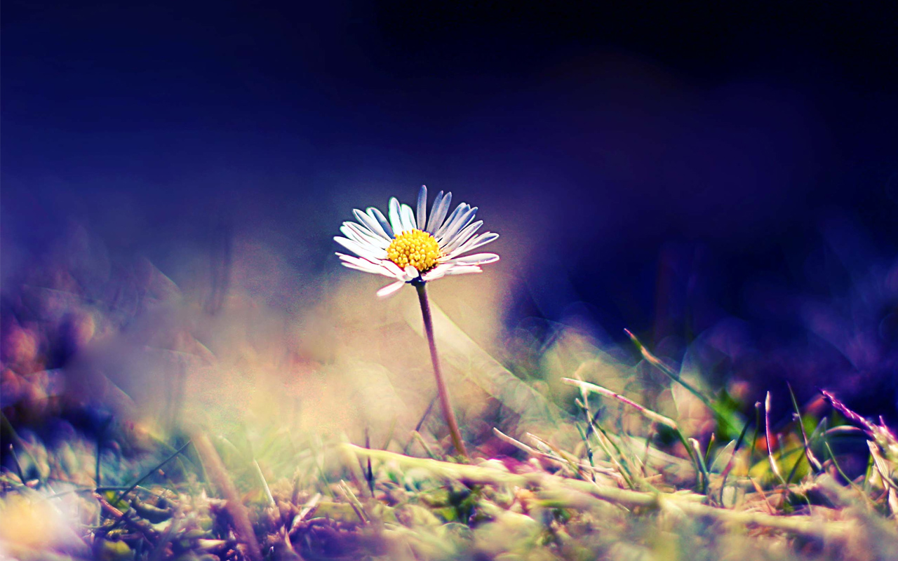 HD Daisy Wallpapers Download Wallpapers in HD for your Desktop 1280x800