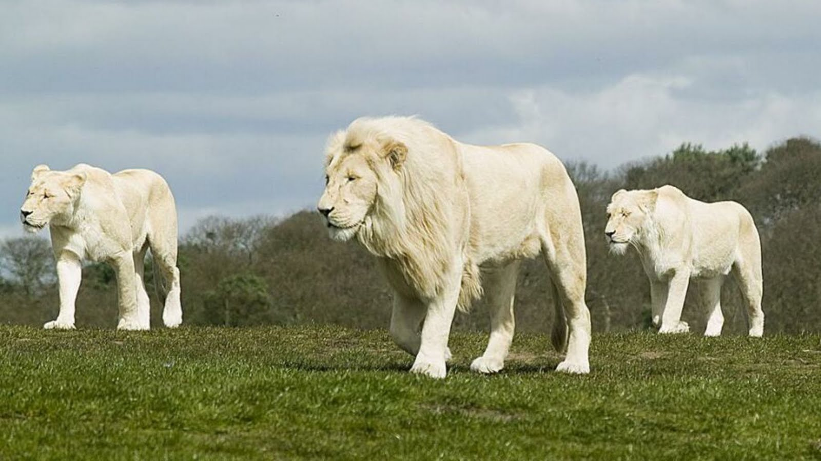 25 Beautiful White Lion Wallpaper 1600x900