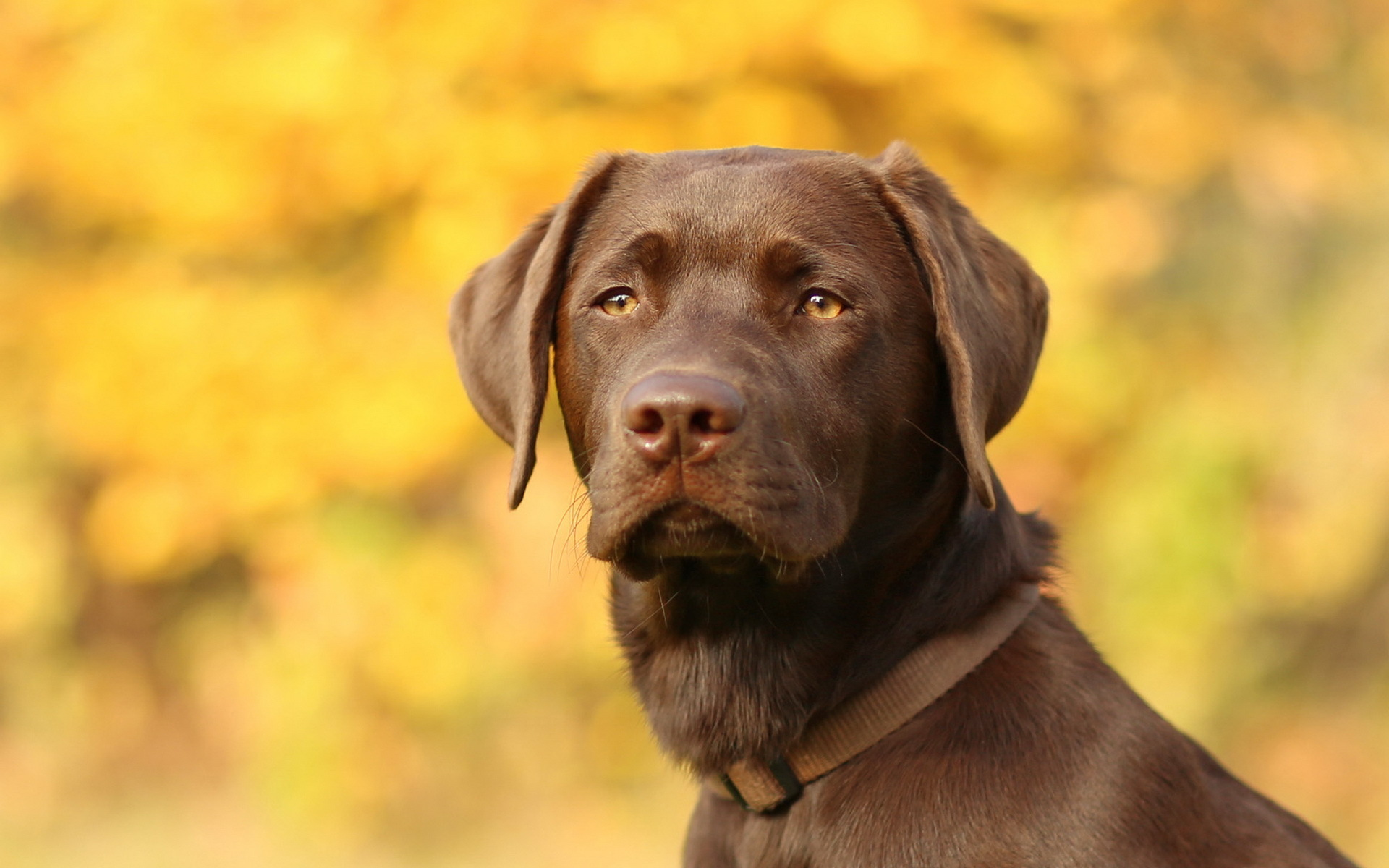 fav 0 rate 0 tweet 1920x1200 animals dog labrador retriever resolution 1920x1200