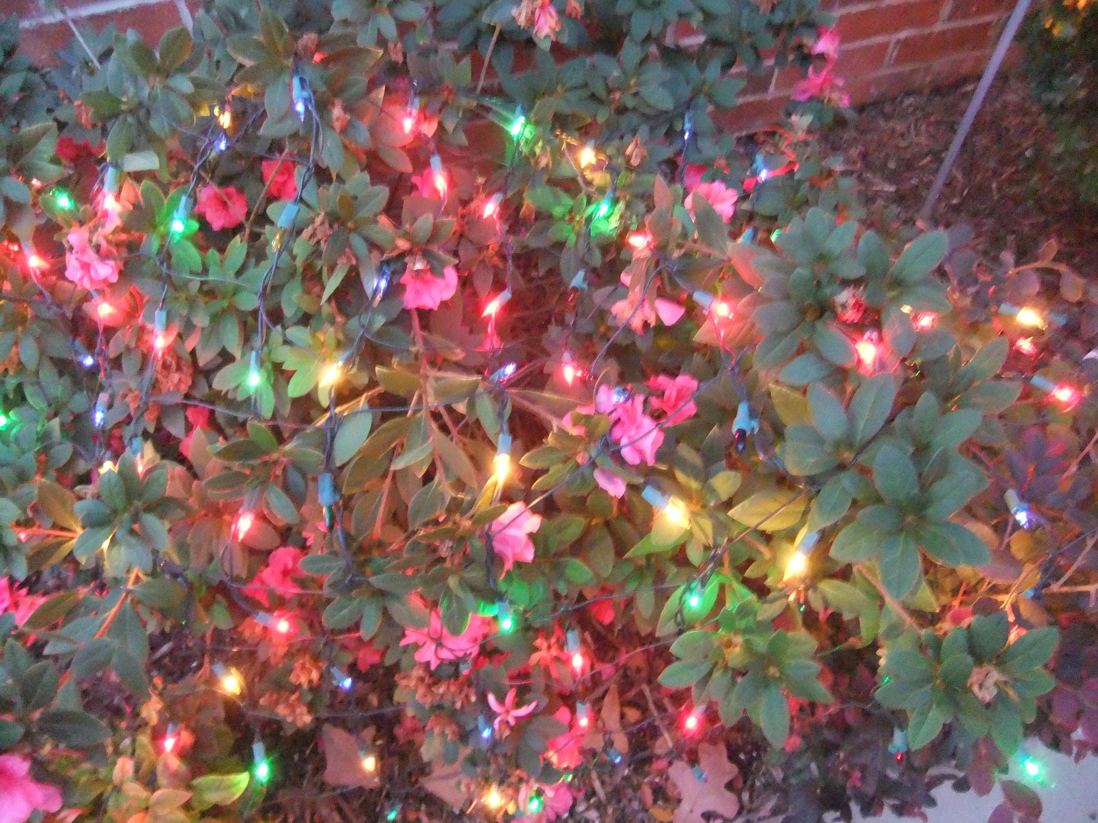 Blinking Christmas Lights Wallpaper Christmas lights on bushes 3616x2712