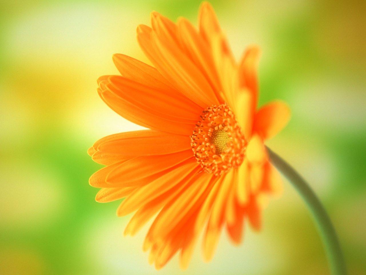 flowers for flower lovers Daisy flowers HD desktop wallpapers 1280x960