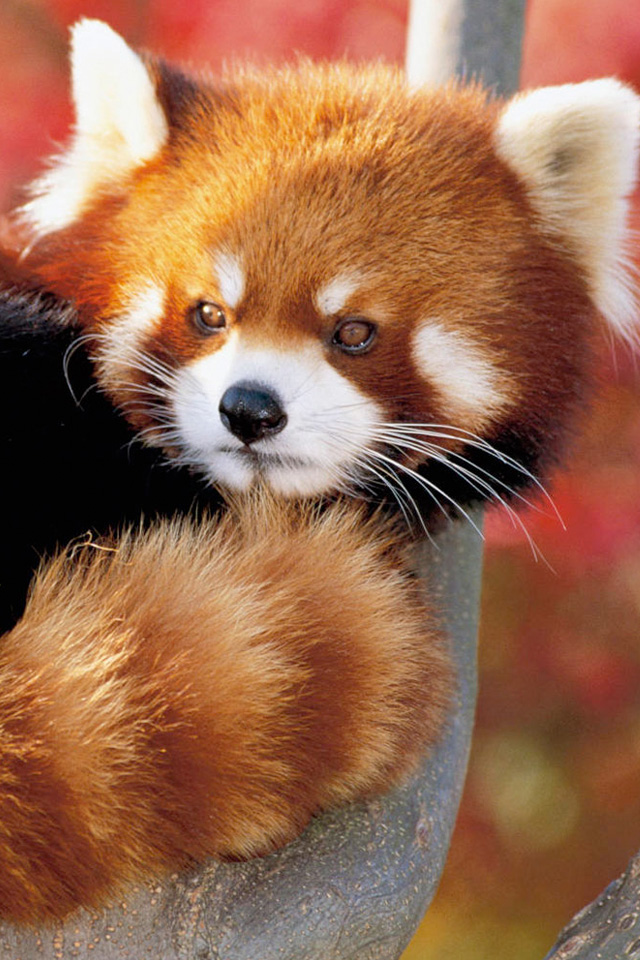 Related Pictures cute red pandas wallpapers 640x960