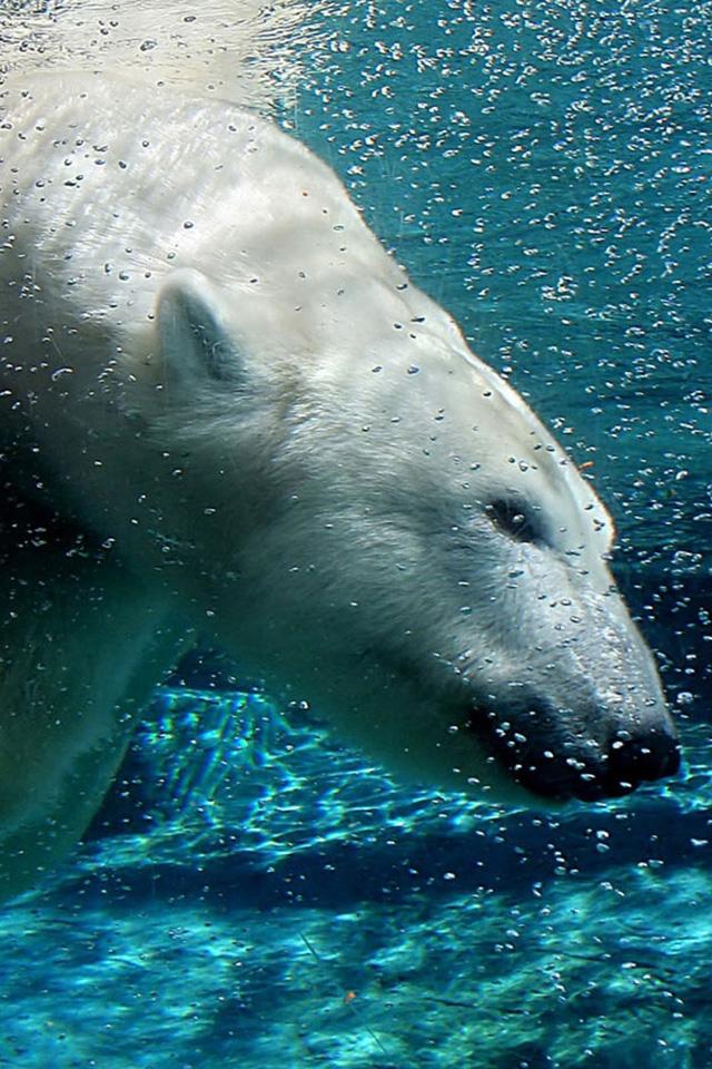 Polar Bear Swim iPhone Wallpaper HD 640x960