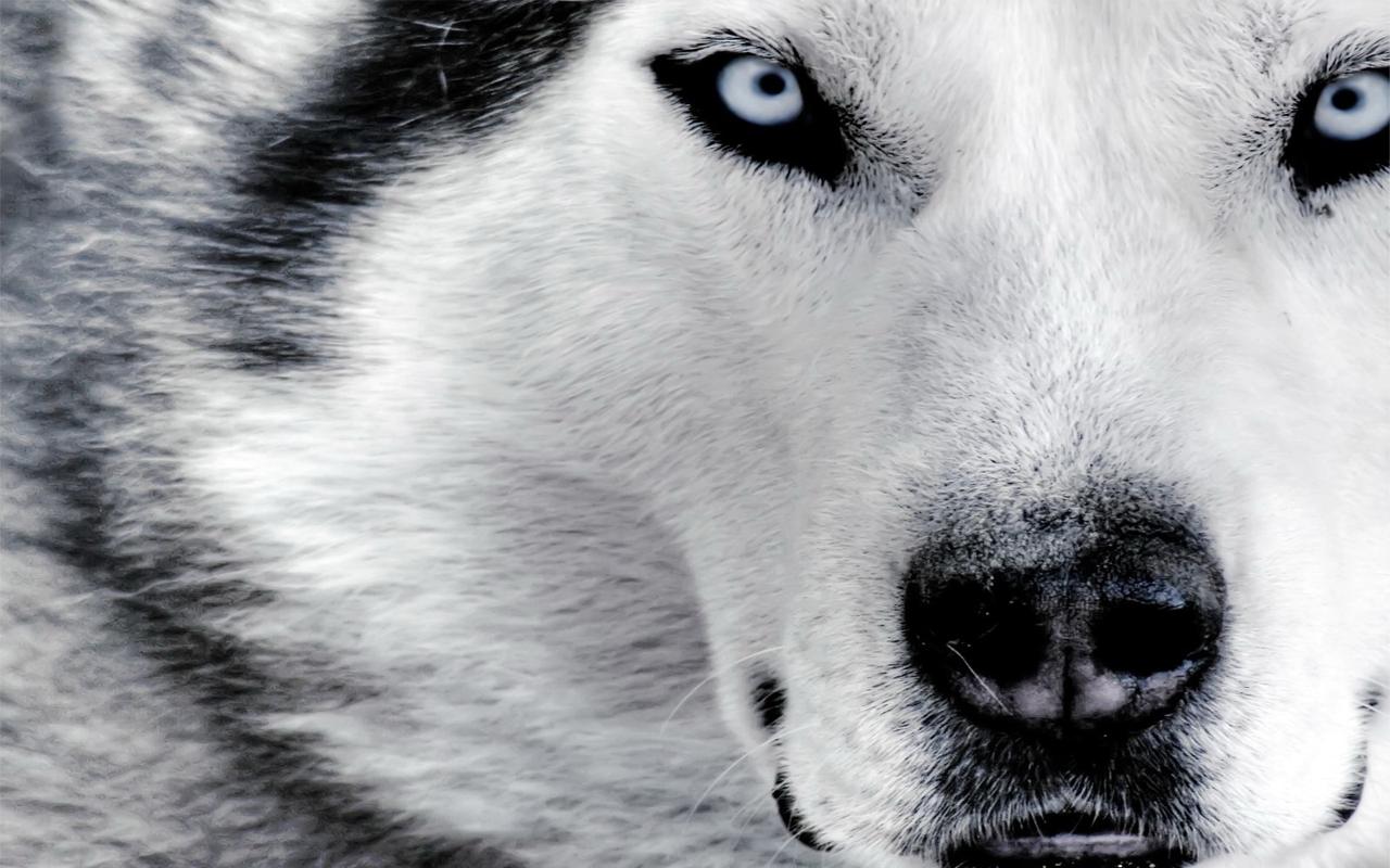 Wolf Latest HD Wallpapers Latest HD Wallpapers 1280x800