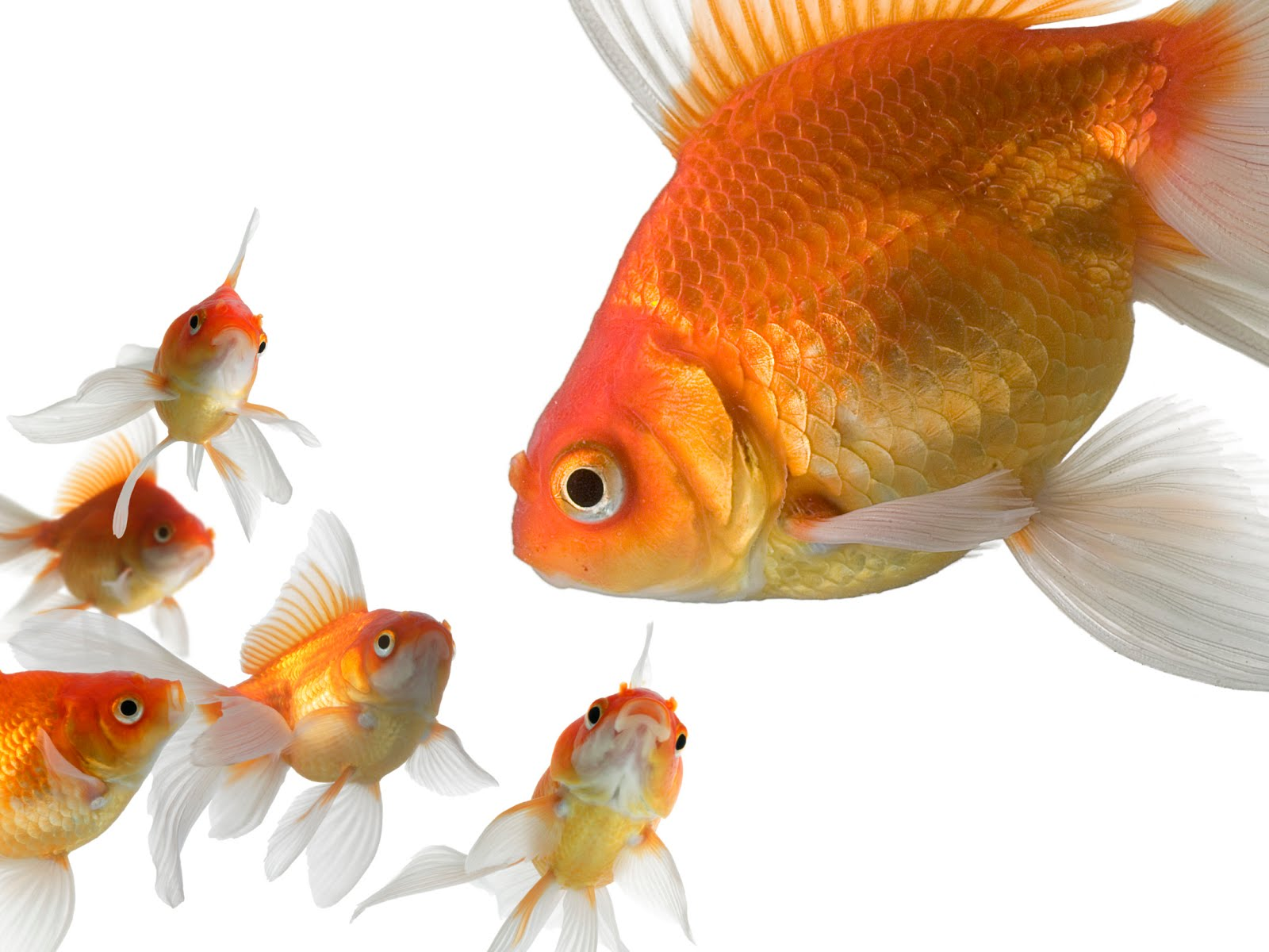 Goldfish Wallpapers HD Wallpapers 1600x1200