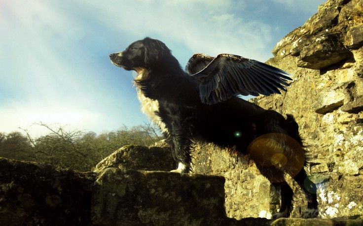 Flying Dog Cool Awesome 2 HD Wallpaper Desktop Background 736x459