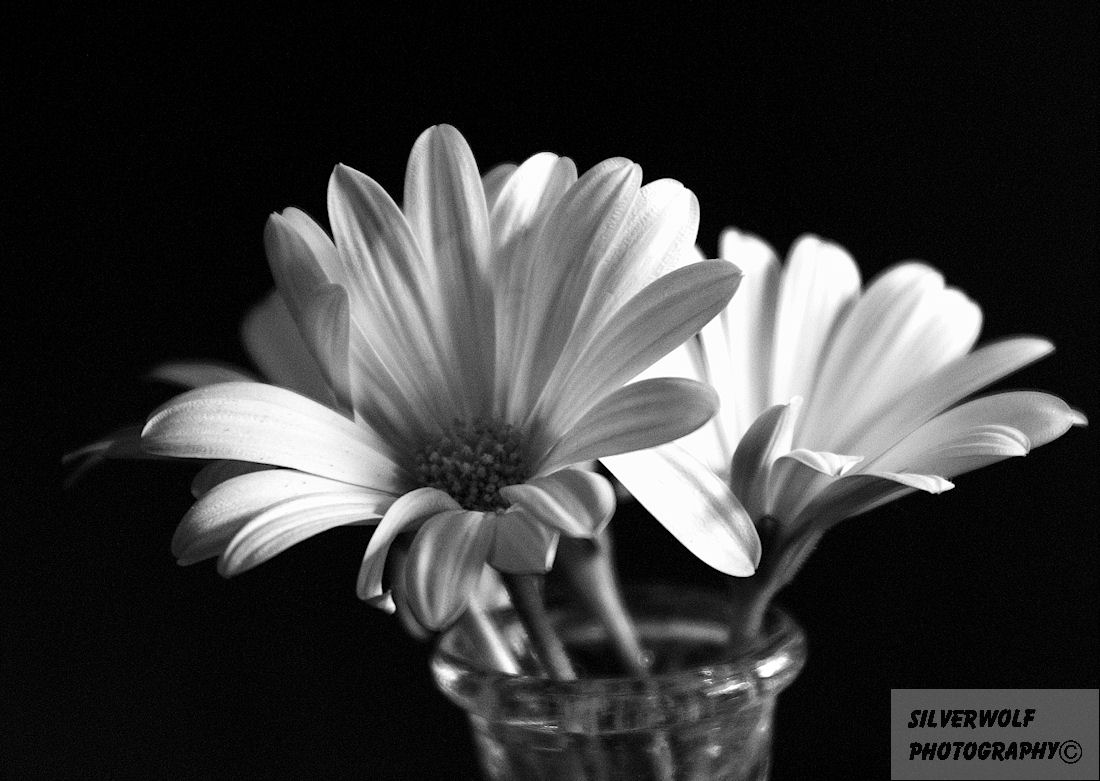 Free Download Daisy Black And White 17404 Hd Wallpapers In Flowers