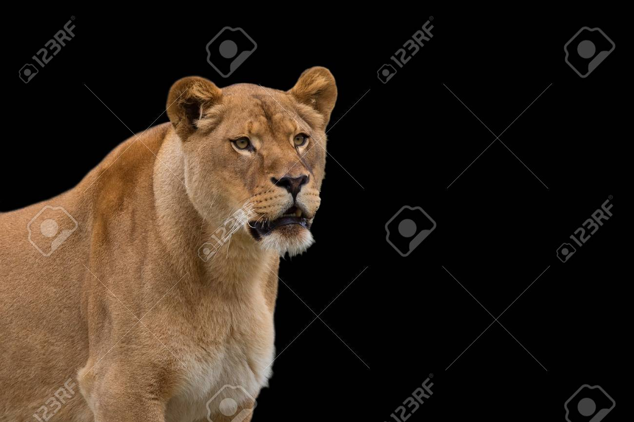 Lioness On A Black Background A Portrait Stock Photo Picture And 1300x866