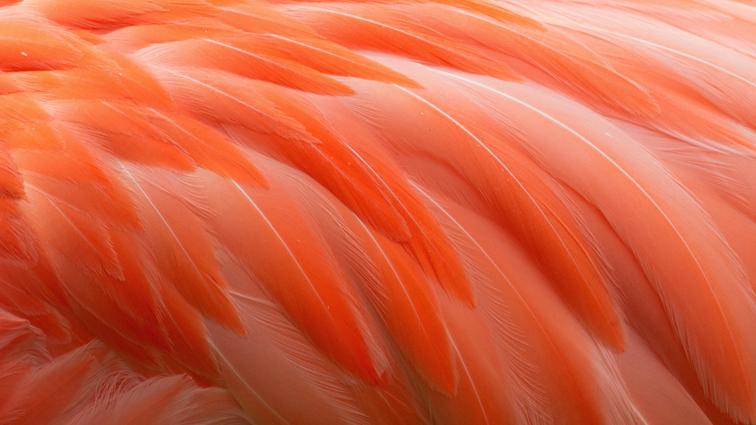 Wallpaper Flamingo Orange Macro Feathers 2560x1440 2560x1440