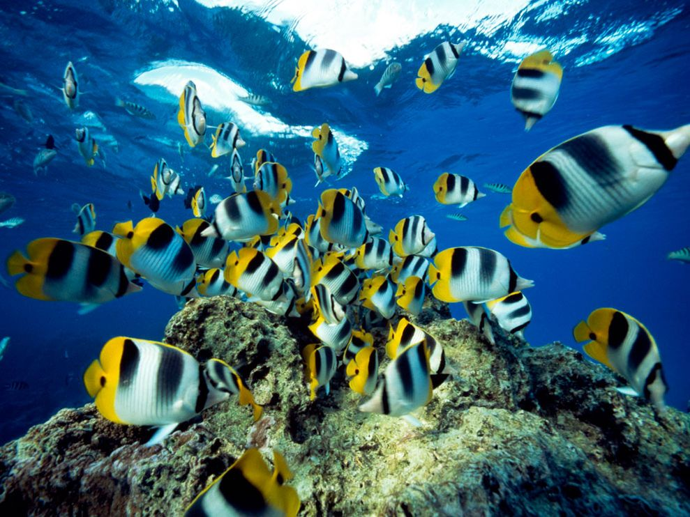 Photo Butterfly fish swimming near waters surface 989x742