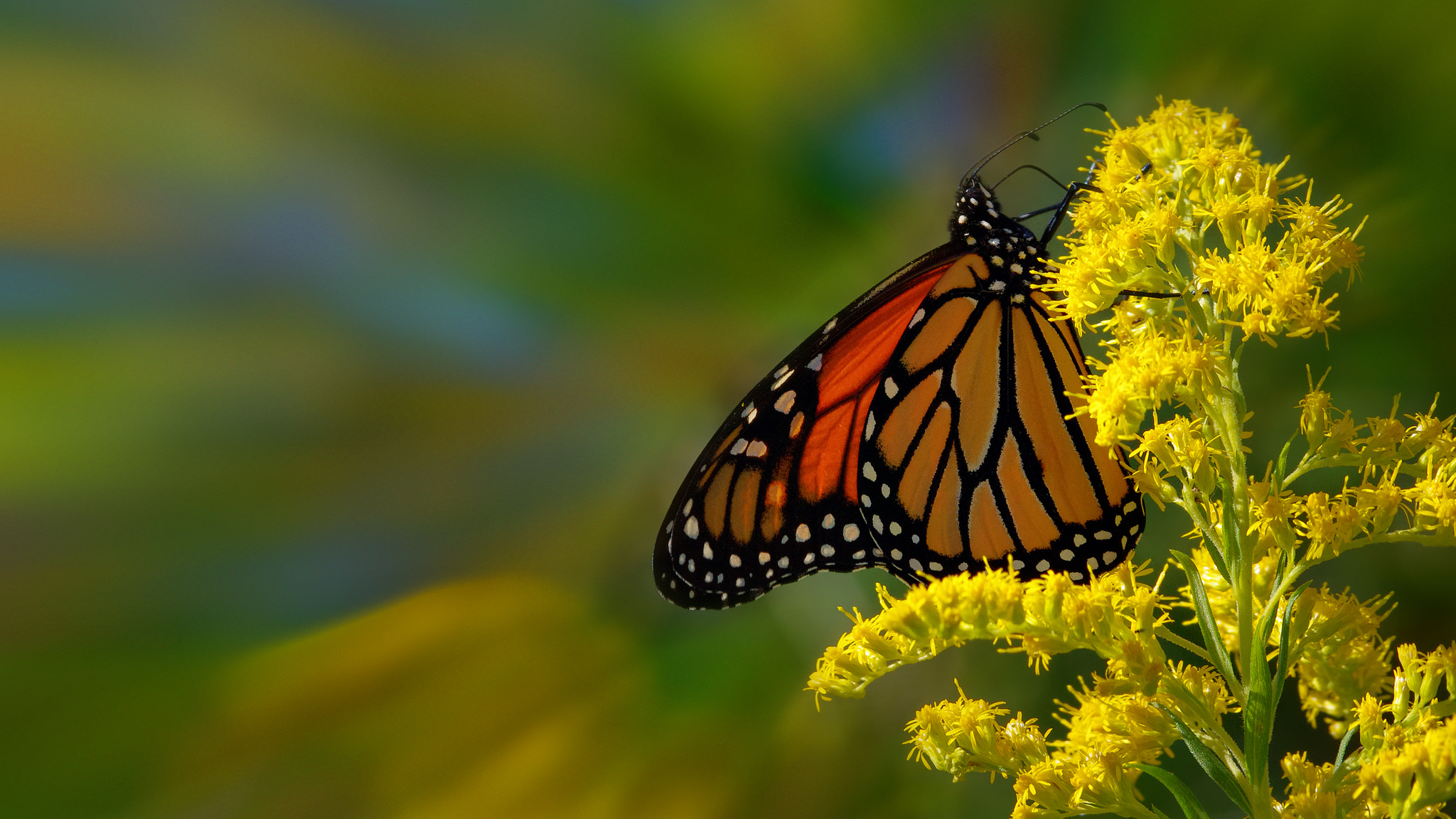 Zoom Monarch Butterfly HD Wallpaper Flickr   Photo Sharing 2048x1152