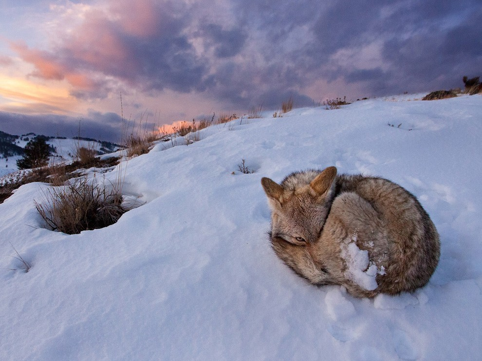 National Geographic Wallpaper   Coyote Yellowstone National Park 990x742