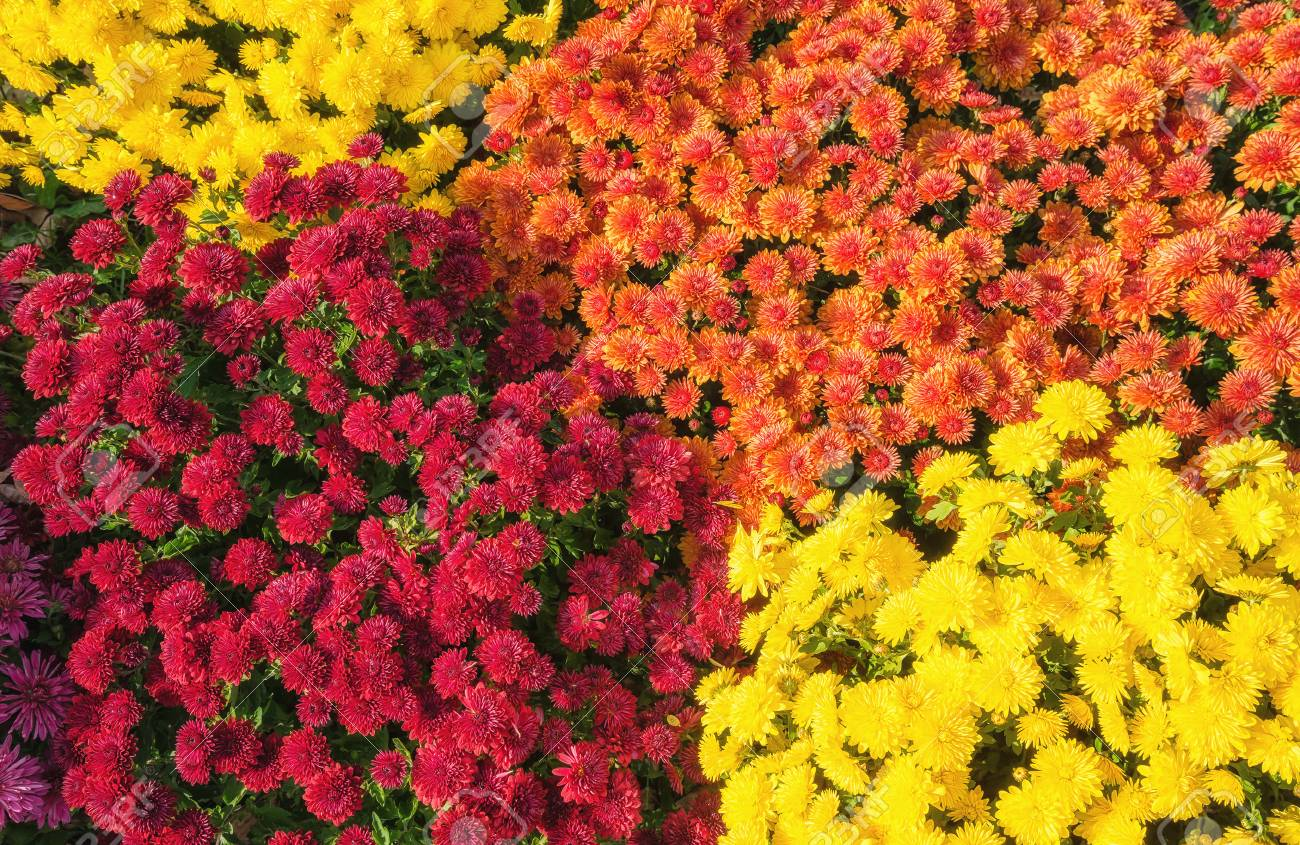Colorful Autumn Mums Or Chrysanthemums For Flower Background Stock 1300x845