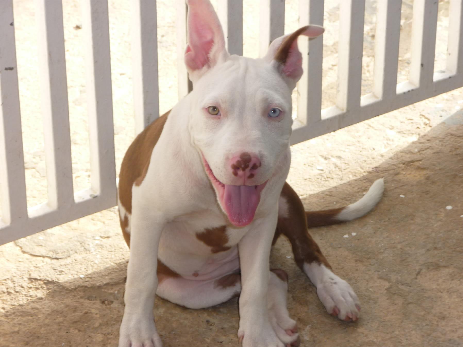 Blue Nose Pitbull Wallpaper Wallpapersafari