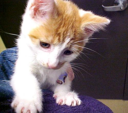 Orange White Kitten on My 500x441