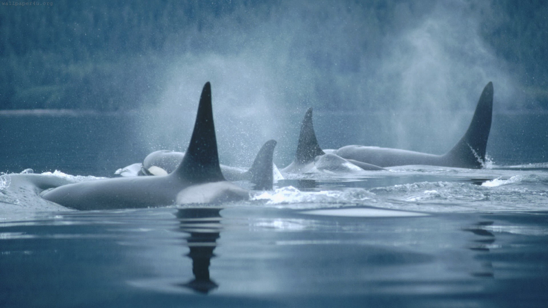 75 Orca Wallpapers On Wallpapersafari