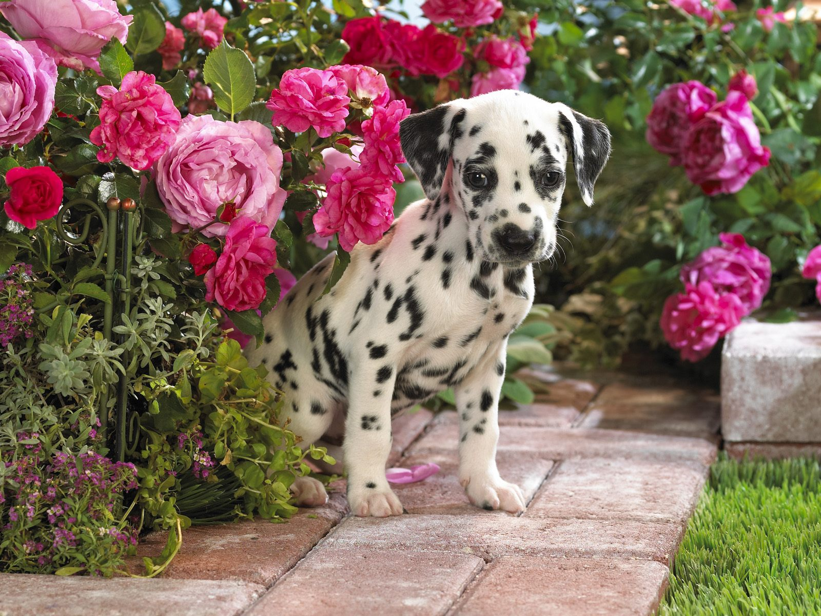 Cute Dalmatian Puppies   5 Wallpapers Download Wallpapers in HD 1600x1200