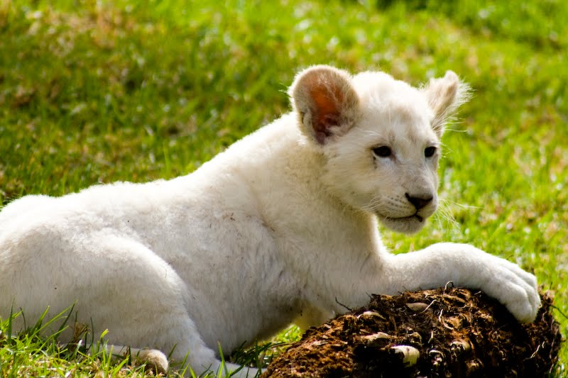 Desktop Background Wallpapers Cute White Lion Cubs Wallpapers 800x533