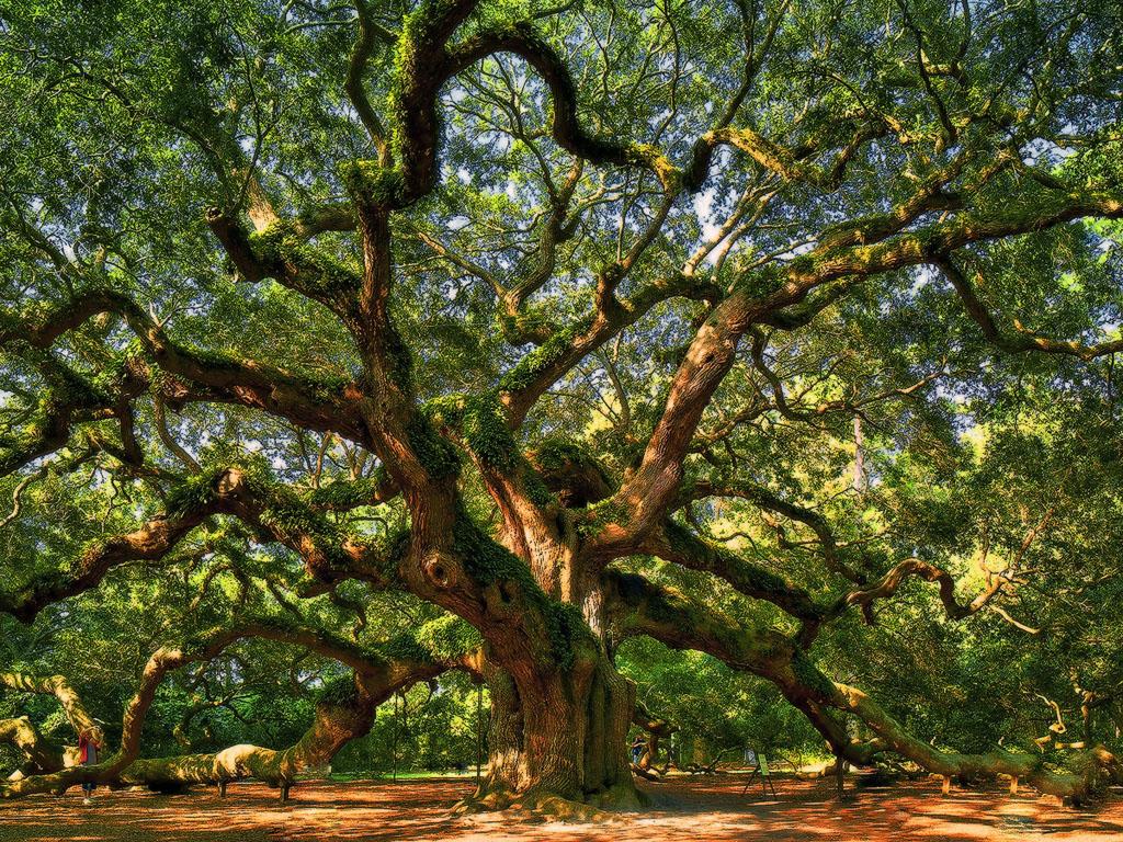 Angel Oak Tree Wallpapers WallpapersIn4knet 1024x768