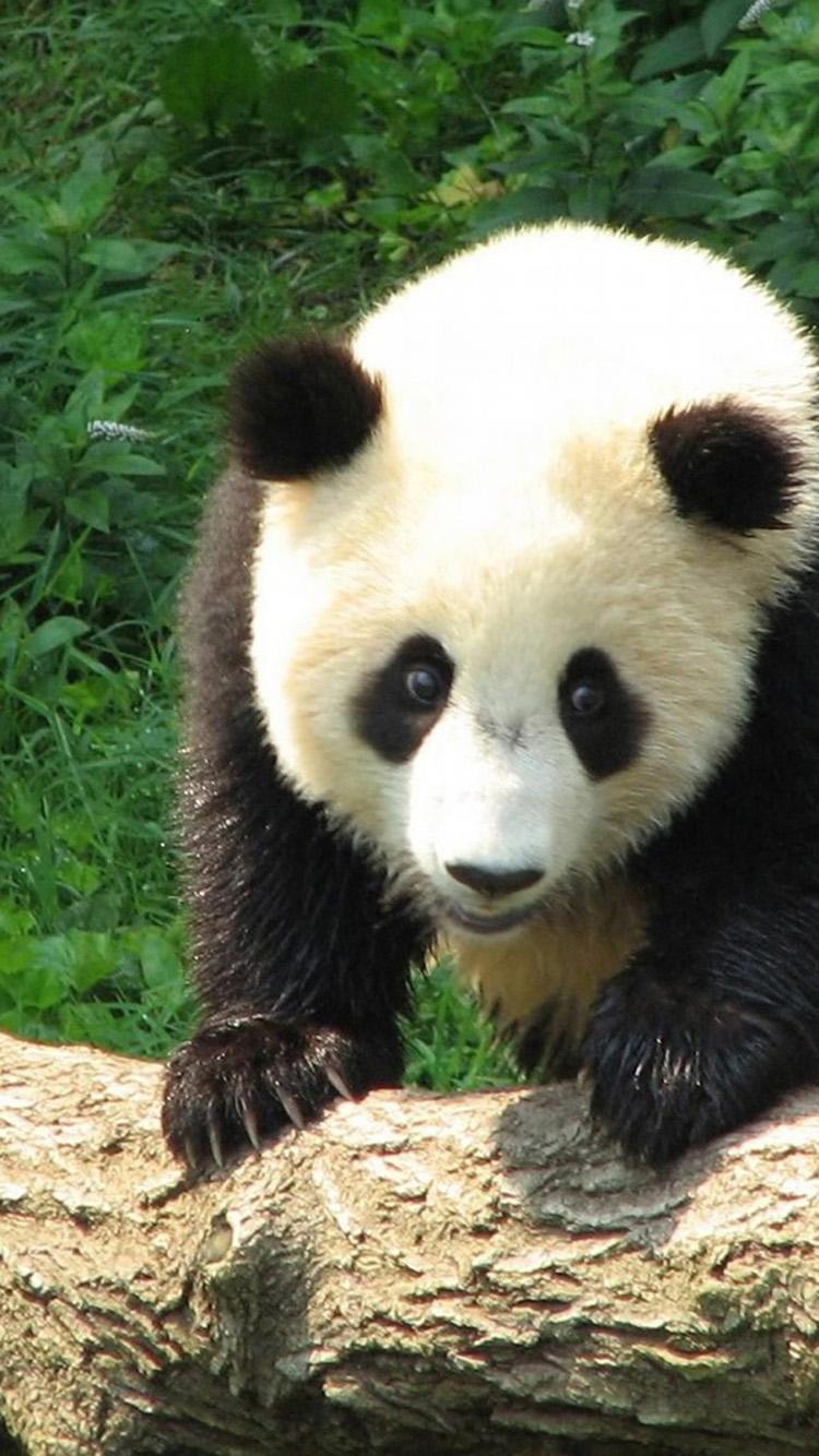 Kawaii Panda Iphone Wallpaper Wallpapersafari