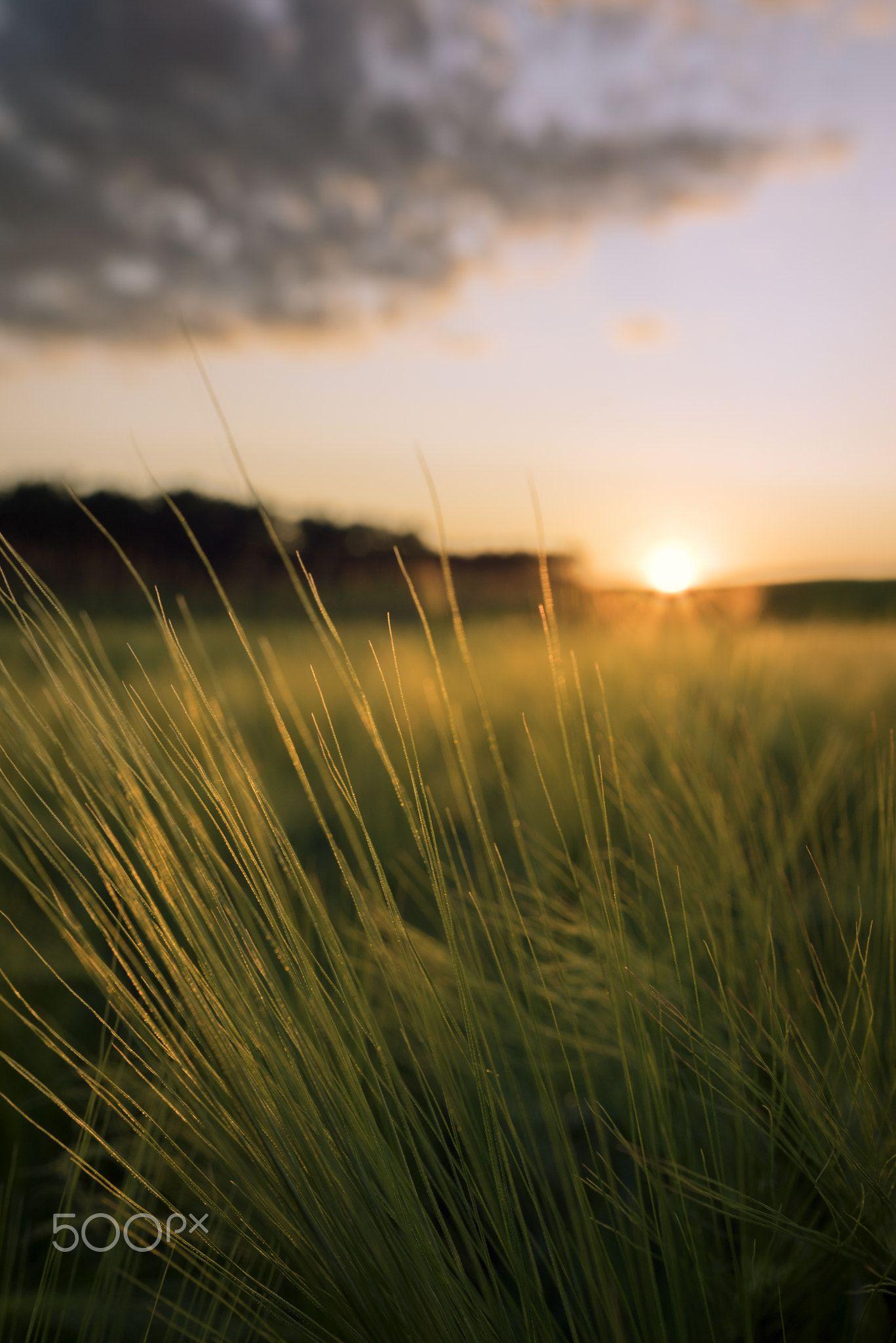 Golden Wheat   Agrarian field in the summer evening Atardecer 1367x2048