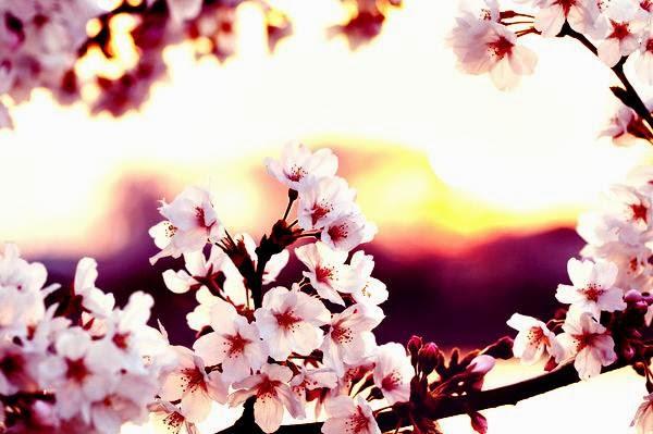 Gambar Wallpaper Bunga Sakura Jepang Cantik Kata Kata 2016 600x399
