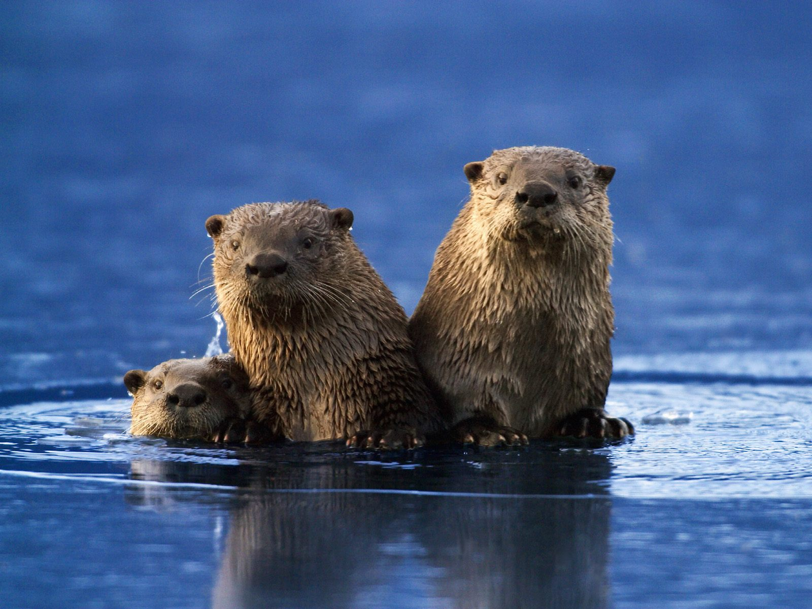 ENCYCLOPEDIA OF ANIMAL FACTS AND PICTURES OTTER 1600x1200