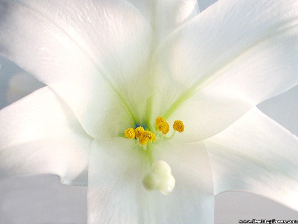 desktop backgrounds lily - photo #20