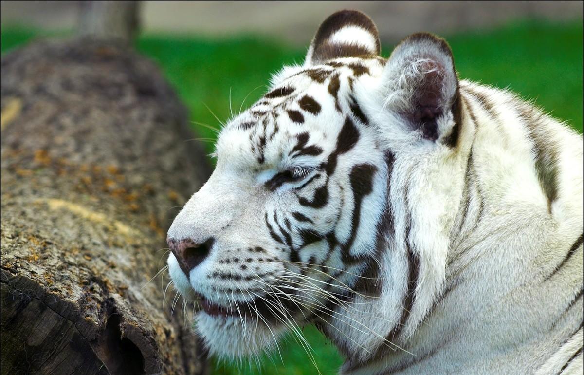 White Tiger Desktop wallpapers 018 White Tiger Desktop wallpapers 017 1200x770