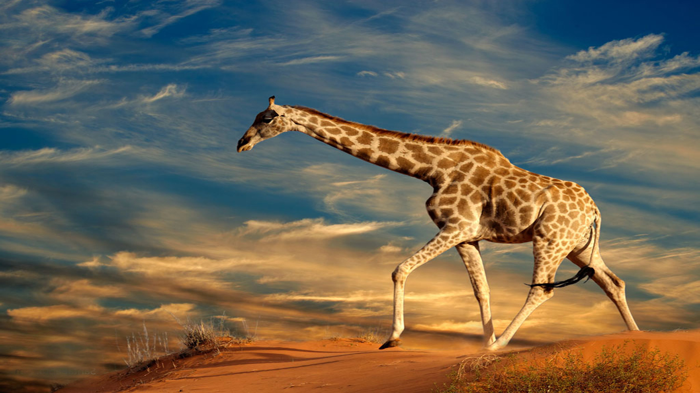 HD Giraffe Wallpaper