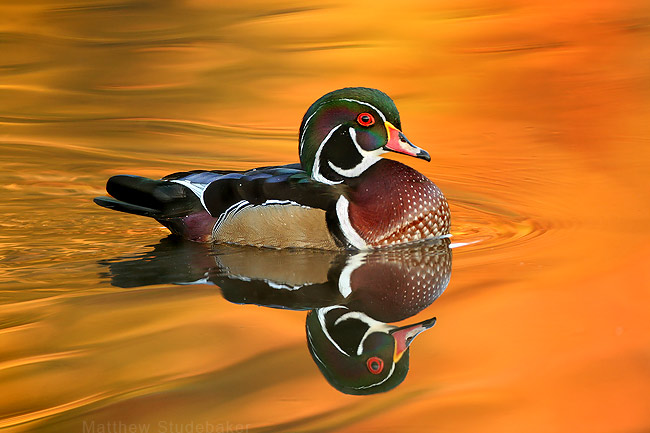 Wood Duck Wallpaper Wood duck 650x433