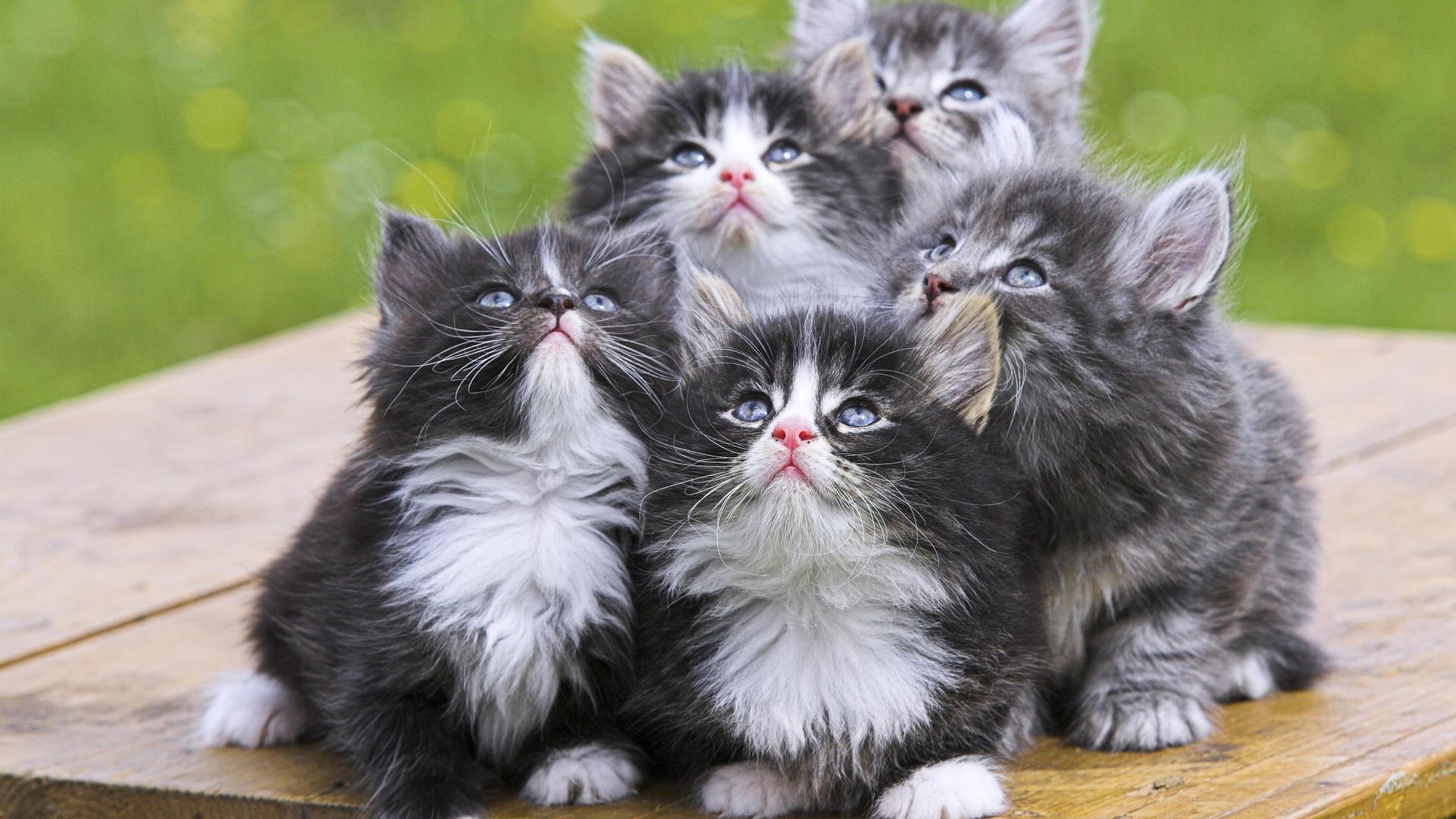Persian Kittens HD Wallpaper High Quality WallpapersWallpaper 1920x1080