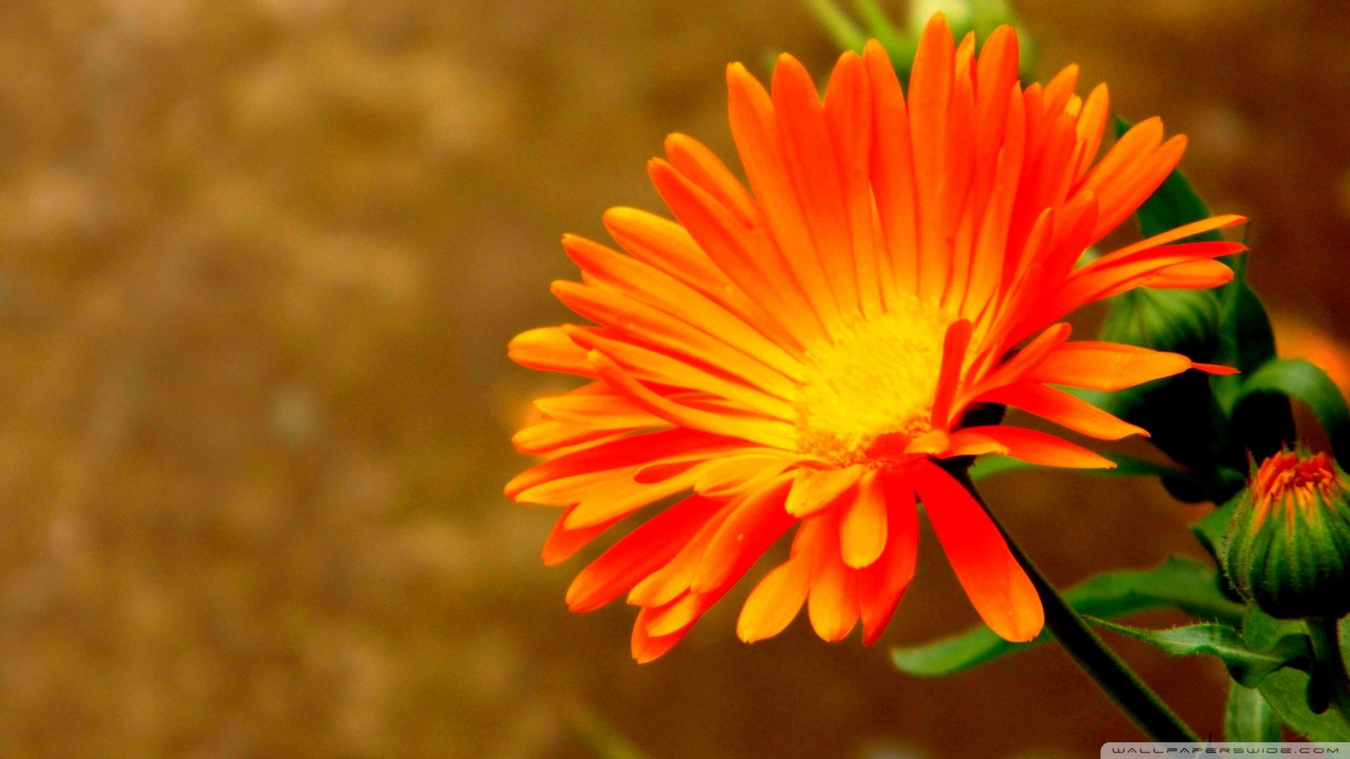 Orange Flower wallpaper   832783 1920x1080