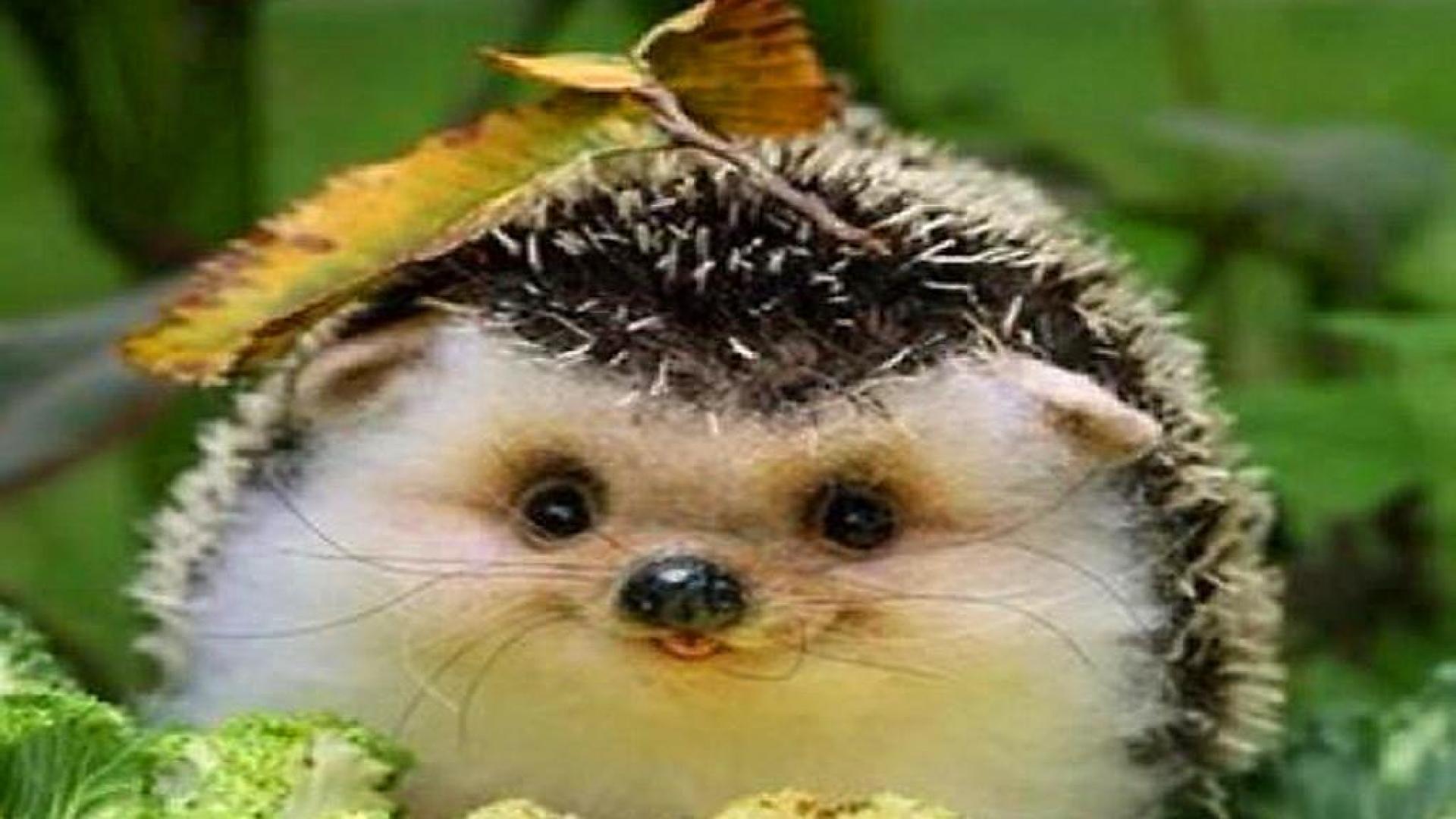 Hedgehog Wallpapers Wallpapersafari HD Wallpapers Download Free Images Wallpaper [1000image.com]