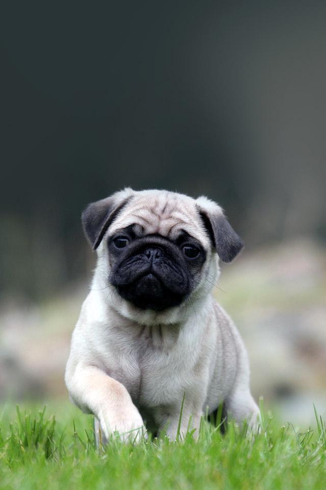 Cute Pug On Grass 640x960