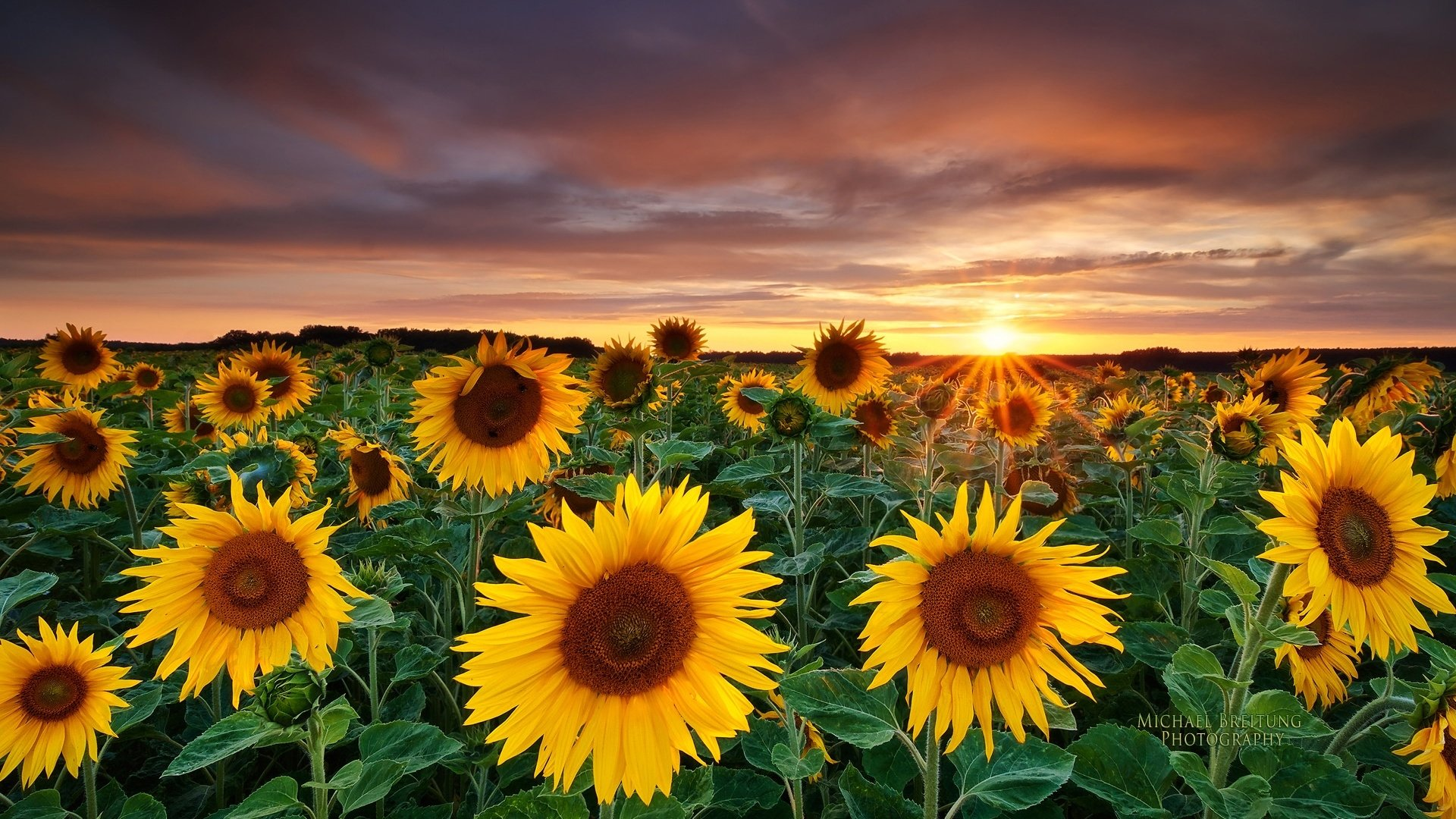 453 Sunflower HD Wallpapers Background Images 1920x1080
