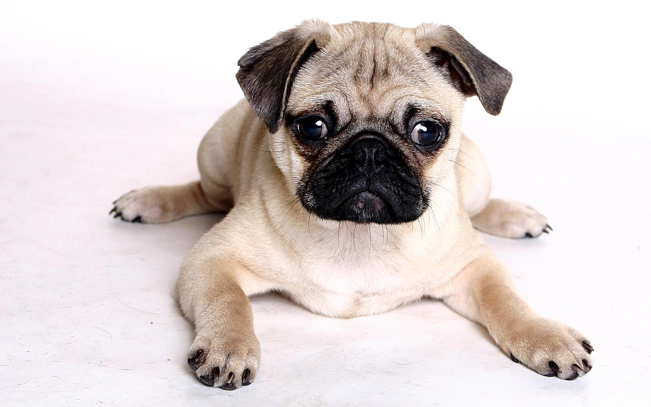 hd wallpapers new beautiful hd wallpapers of pug dog download 2560x1600