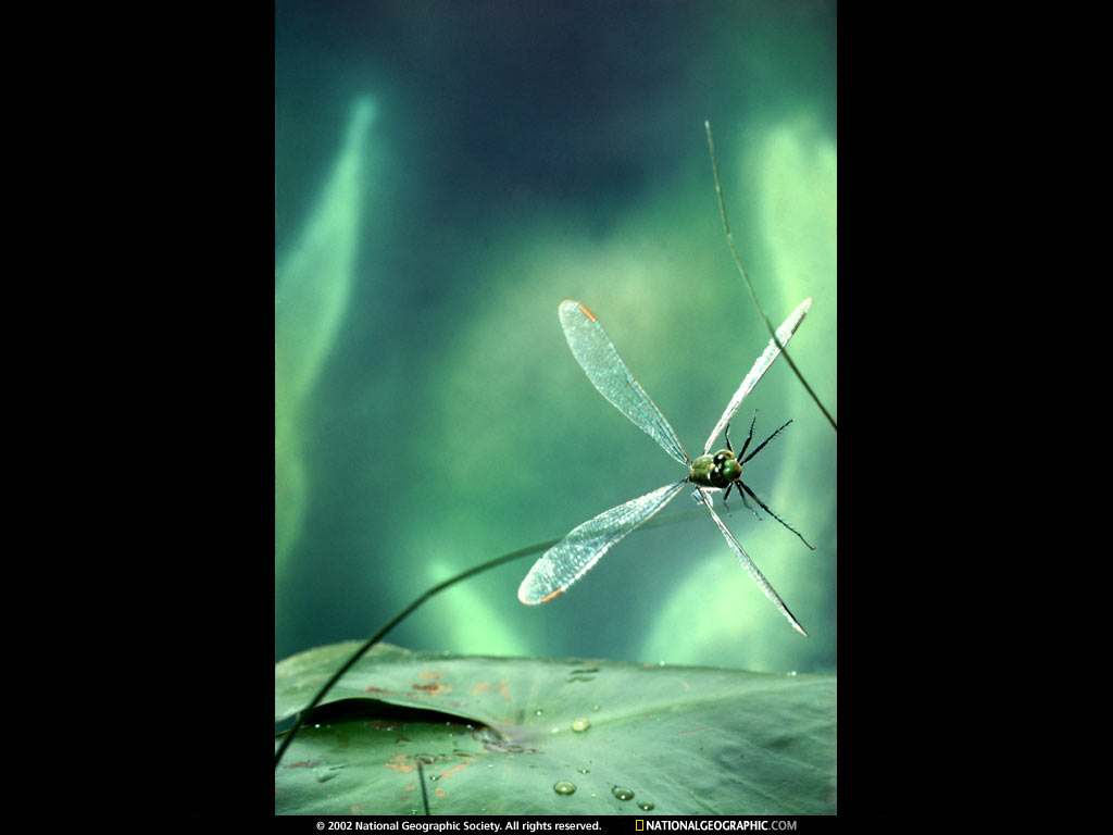 Cool Wallpapers dragonfly backgrounds 1024x768