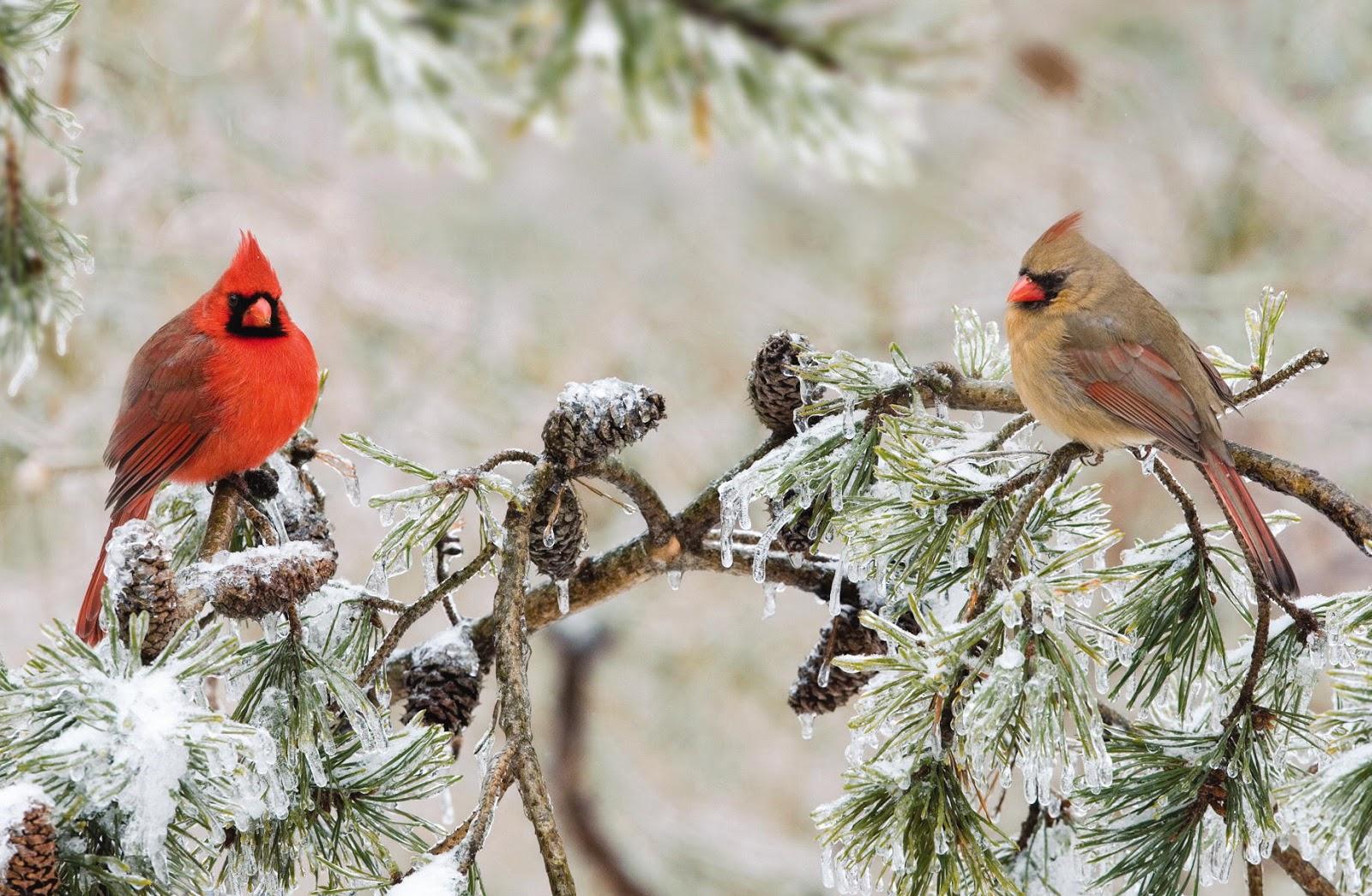 42 cardinal wallpaper winter on wallpapersafari - Winter cardinal wallpaper ...
