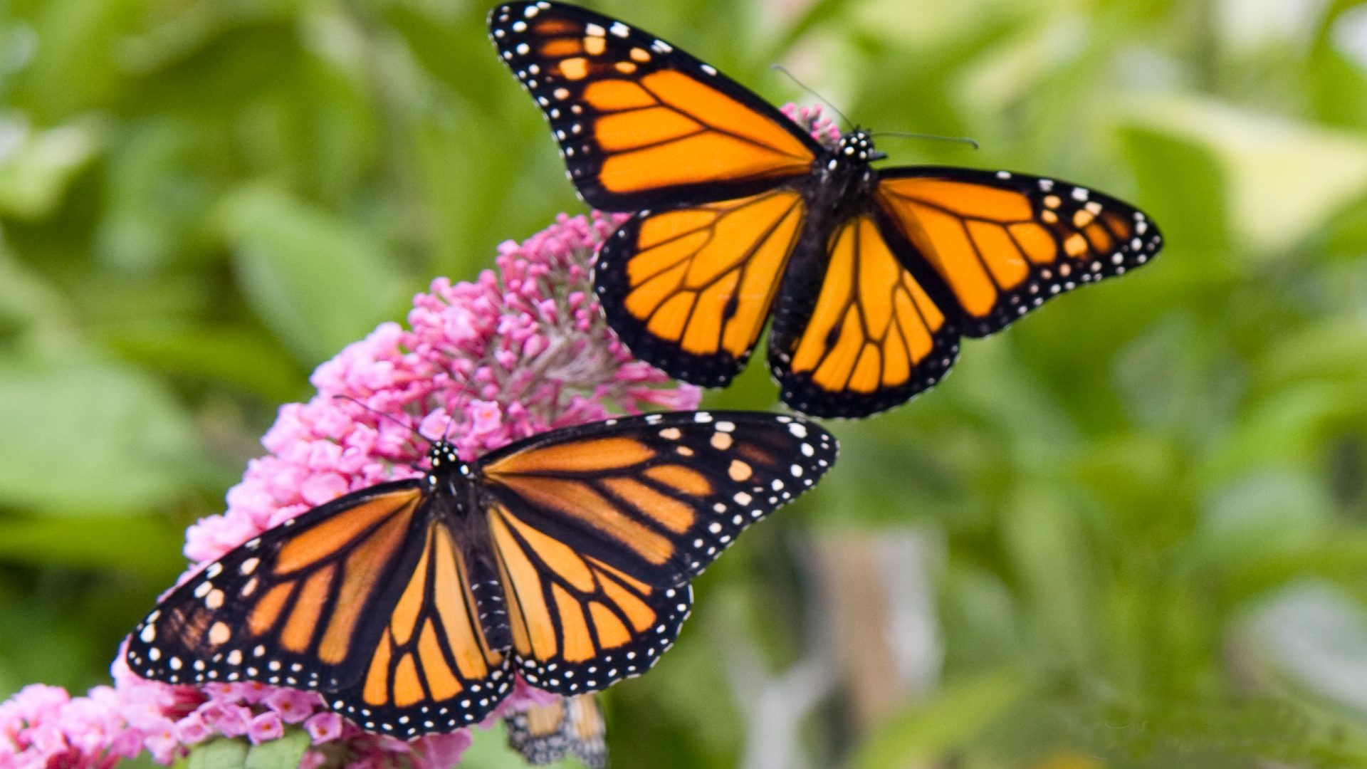 Male And Female Monarch Butterfly Desktop Hd Wallpaper 1920x1080