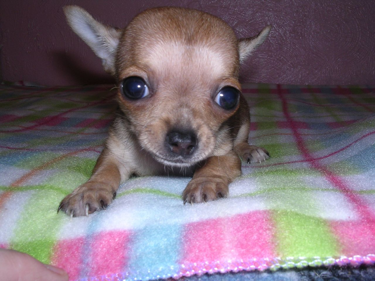 Free download Teacup Chihuahua For Sale Images