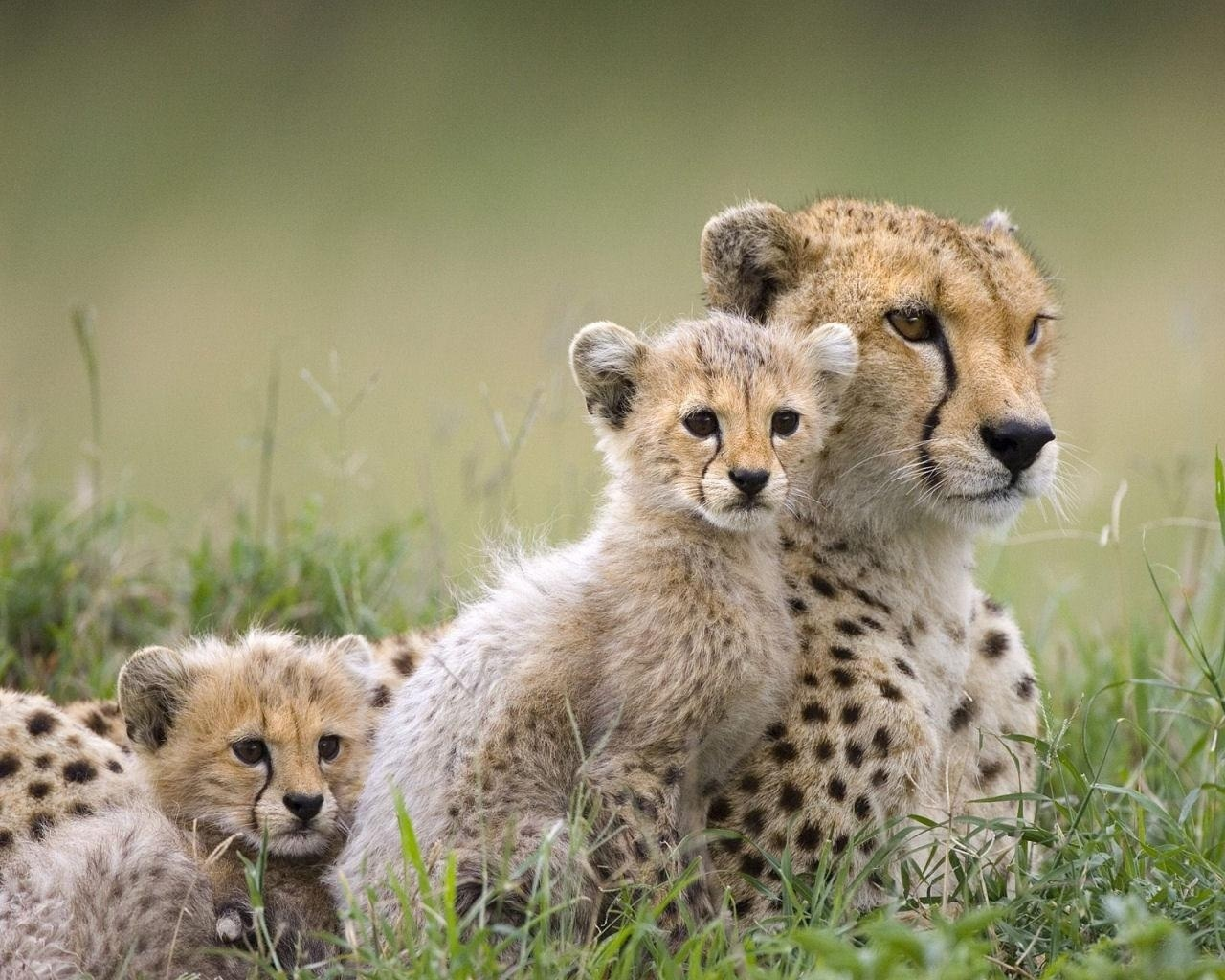 Cheetah Family   Wild Animals Wallpaper 2603080 1280x1024