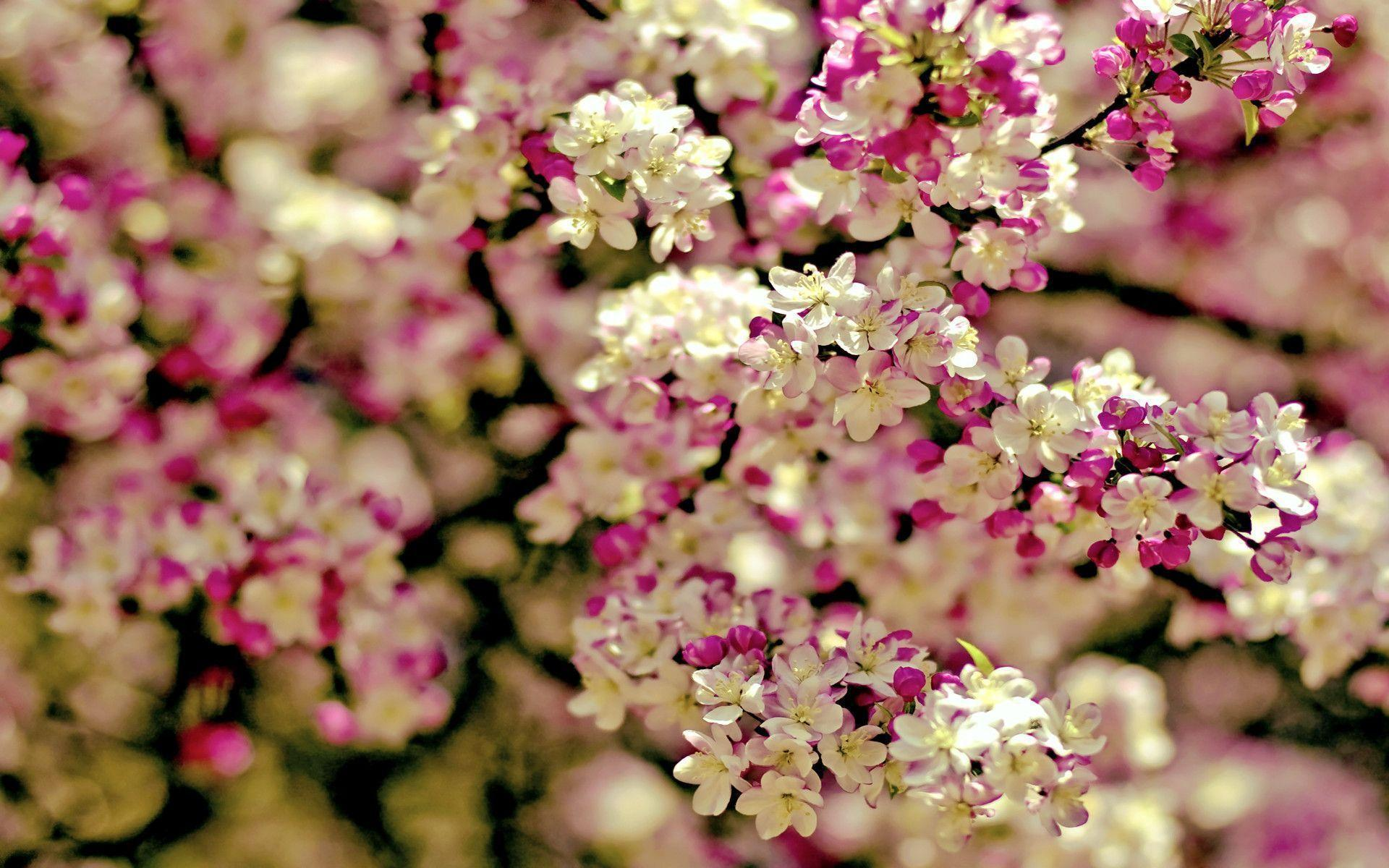 Sakura Flower Wallpapers 1920x1200