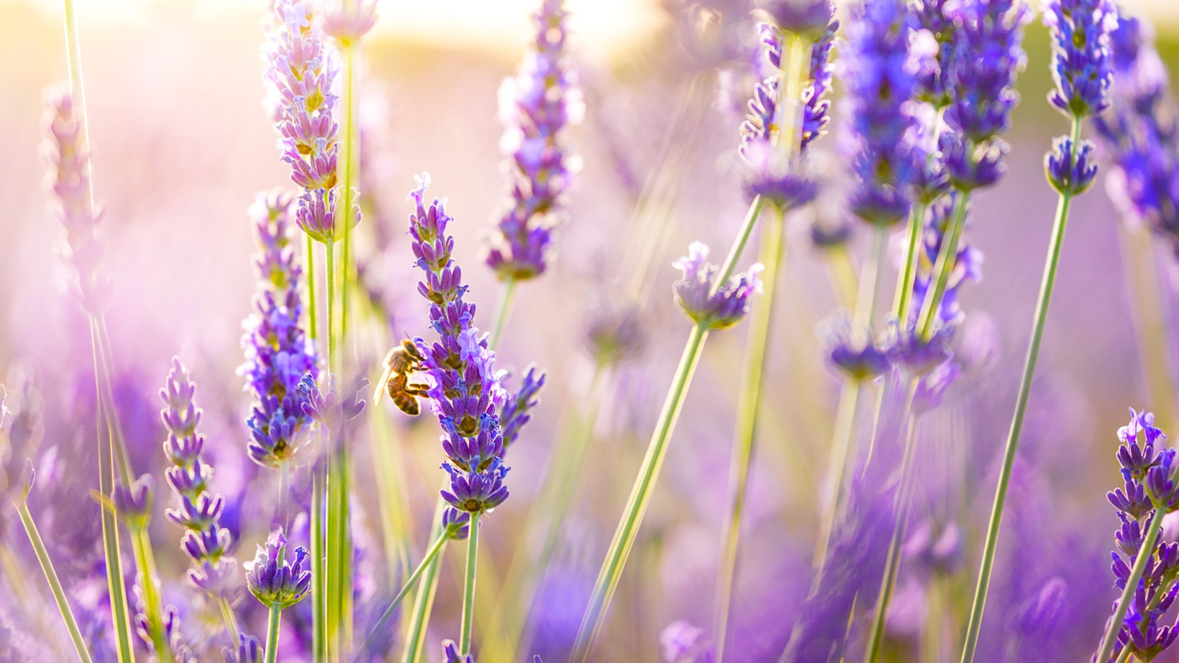 Lavender Wallpaper Lavender Wallpapers 31 Download 3840x2160