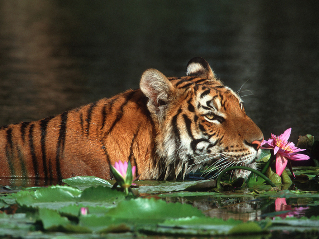 Animals Zoo Park Tigers Wallpapers Tiger Wallpaper for Desktop 1024x768