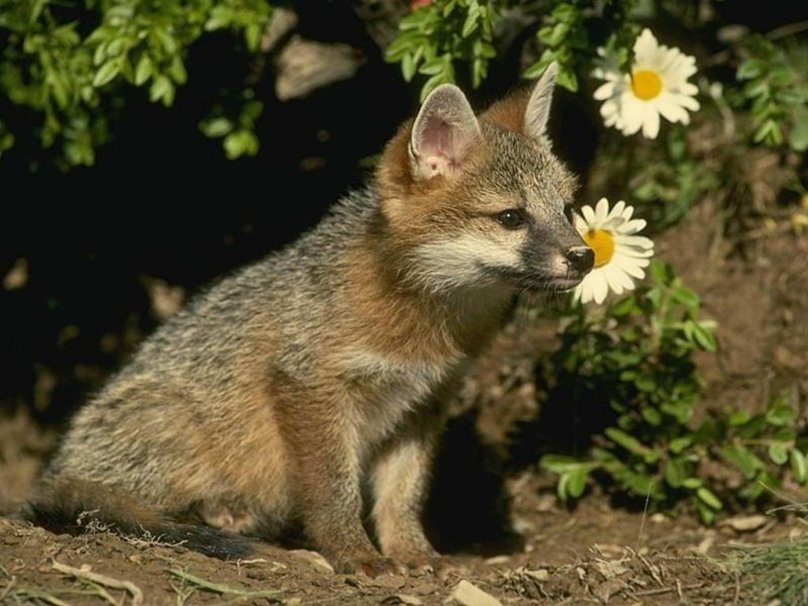 Baby fox wallpaper   ForWallpapercom 808x606