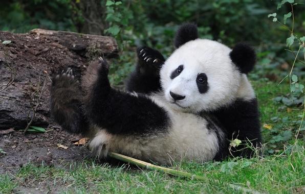 Wallpaper bear panda baby wallpapers animals   download 596x380